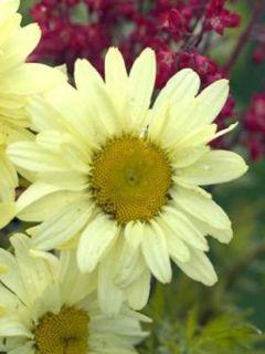 Leucanthemum superbum Sonnenschein - Grande Marguerite superbum Sonnenschein