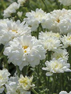 Leucanthemum Victorian Secret, Marguerite à fleurs doubles