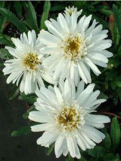 Marguerite 'Wirral Supreme'