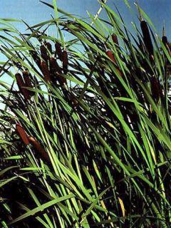 Typha latifolia, Massette