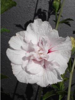 Hibiscus syriacus China Chiffon - Althéa blanc