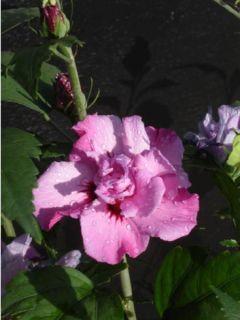 Hibiscus syriacus Eruption® - Althéa ou mauve en arbre