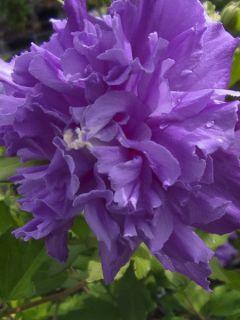 Hibiscus French Cabaret Purple® - Mauve en arbre double violette