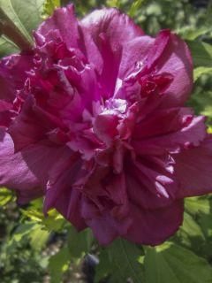 Hibiscus French Cabaret Red - Mauve en arbre double rouge foncé