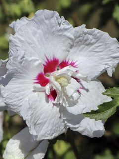 Hibiscus syriacus French Point