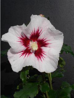 Hibiscus syriacus Pinky Spot - Althéa rose