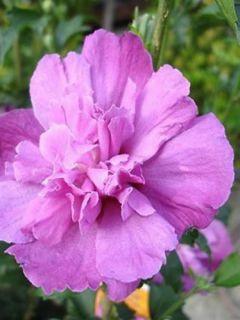 Mauve en arbre 'Purple Ruffles'®