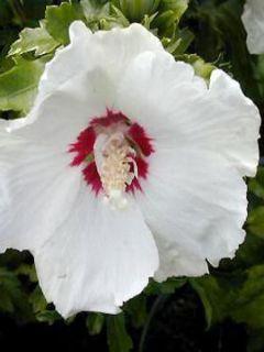Hibiscus syriacus Red Heart - Mauve en arbre blanc à coeur rouge.