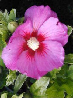 Mauve en arbre Russian Violet® 'Floru'