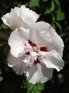 Hibiscus syriacus Speciosus - Althéa