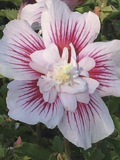 Hibiscus syriacus Starburst Chiffon - Althéa