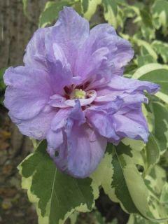 Hibiscus syriacus Summer Ruffle - Althea panaché, semi-double, mauve-rose.