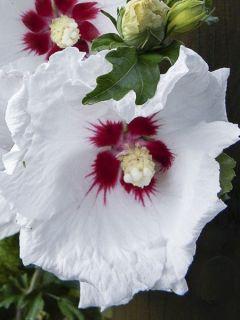 Hibiscus syriacus Sup'Heart® - Althéa à grosses fleurs