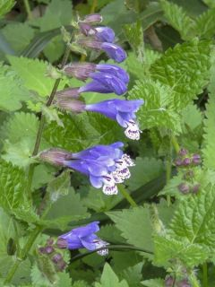 Meehania urticifolia
