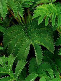 Melianthus major - Grande mélianthe