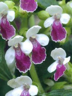 Mélitte - Melittis melissophyllum Royal Velvet