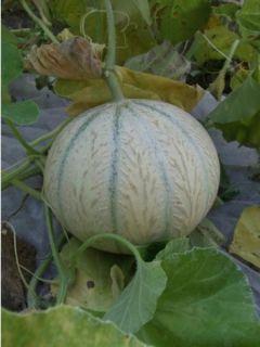 Melon Stellio F1 - Cucumis melo