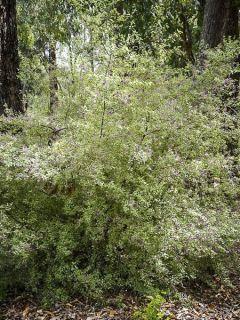 Menthe arbustive australienne 'Variegata'