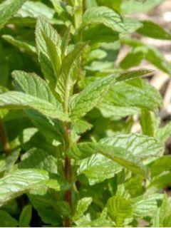Mentha marocaine - Mentha spicata Nannah