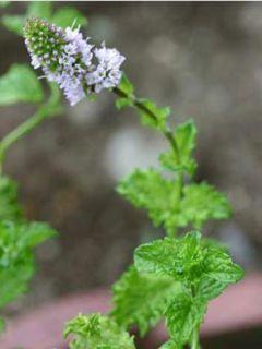 Mentha Crispée - Mentha spicata crispa