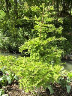 Metasequoia glyptostroboides Chubby