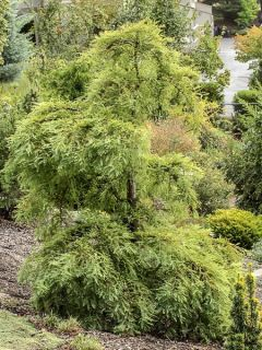 Metasequoia glyptostroboides Miss Grace