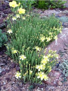 Hypericum olympicum Citrinum - Millepertuis du Mont Olympe 'Citrinum'