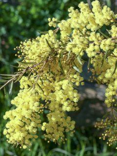 Mimosa 'Clair De Lune'