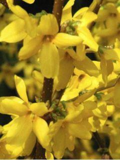 Chicorée scarole Casque D'Or AB - Ferme de Ste Marthe