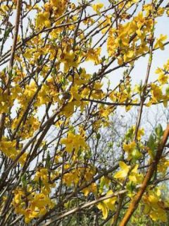 Forsythia intermedia Spectabilis - Mimosa de Paris