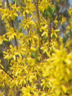 Forsythia intermedia Week-end - Mimosa de Paris