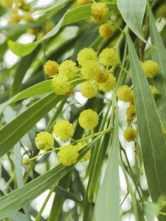 Mimosa des 4 saisons - Acacia retinodes