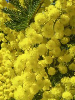 Acacia dealbata Gaulois Astier GREFFE - Mimosa des fleuristes