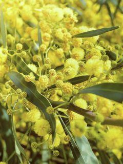 Mimosa des 4 saisons Lisette - Acacia retinodes