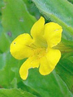 Mimulus Highland Yellow