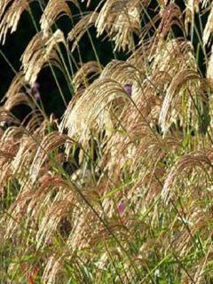 Miscanthus nepalensis - Miscanthus du Népal