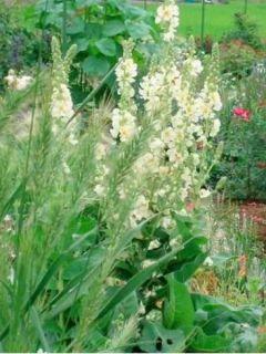 Verbascum phlomoides Spica - Molène blanche
