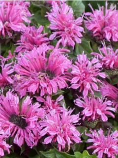 Monarde ou Bergamote Cranberry Lace
