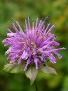 Monarde fistulosa menthifolia - Bergamote sauvage