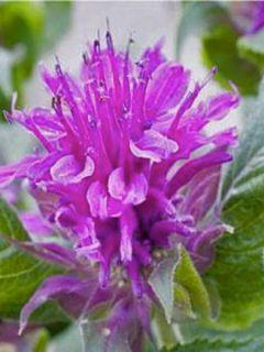 Monarde Purple Lace - Bergamote rose pourpré