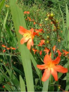 Crocosmia Carmine Brillant - Montbretia orange et rouge