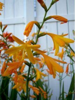 Crocosmia George Davison - Montbretia jaune orangé