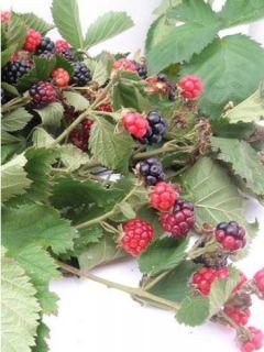 Mûrier Triple Crown - Rubus fruticosus