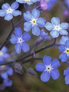 Myosotis sylvatica 'Indigo Blue'