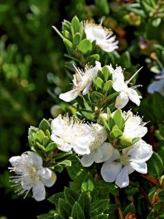 Myrtus communis subsp.Tarentina - Myrte commun