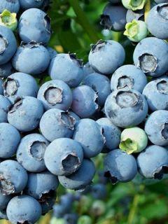 Myrtillier Blue Jay - Vaccinium corymbosum
