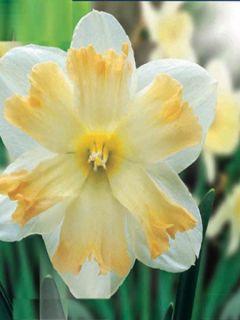 Narcisse Changing Color
