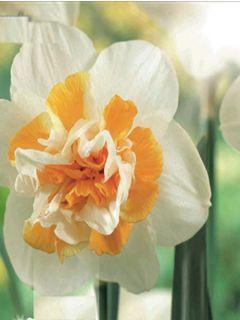 Narcisse Peach Swirl