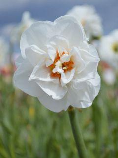 Narcisse Acropolis