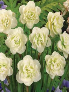 Narcisse à fleurs doubles 'Rose of May'